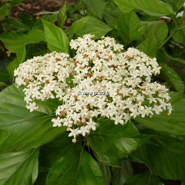 Viburnum japonicum C4L 40/60