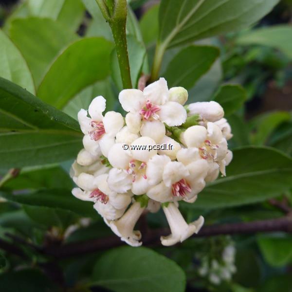 Viburnum suspensum C4L 30/40