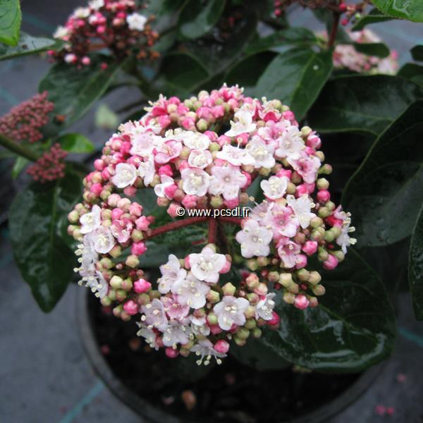 Viburnum tinus \'Lisarose\' ® C15L 80/100