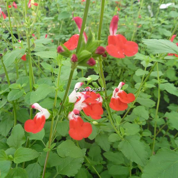 Salvia microphylla \'Hot Lips\' C3L