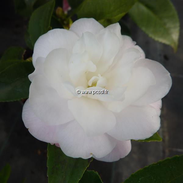 Camellia x \'Cinnamon Cindy\'
