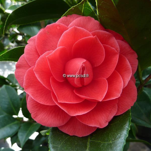 Camellia x \'Black Lace\'