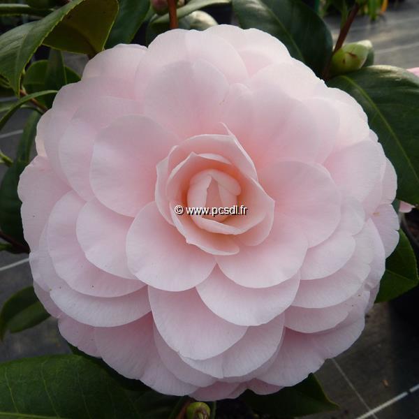 Camellia japonica \'Nuccio\'s Cameo\' C5L 40/60