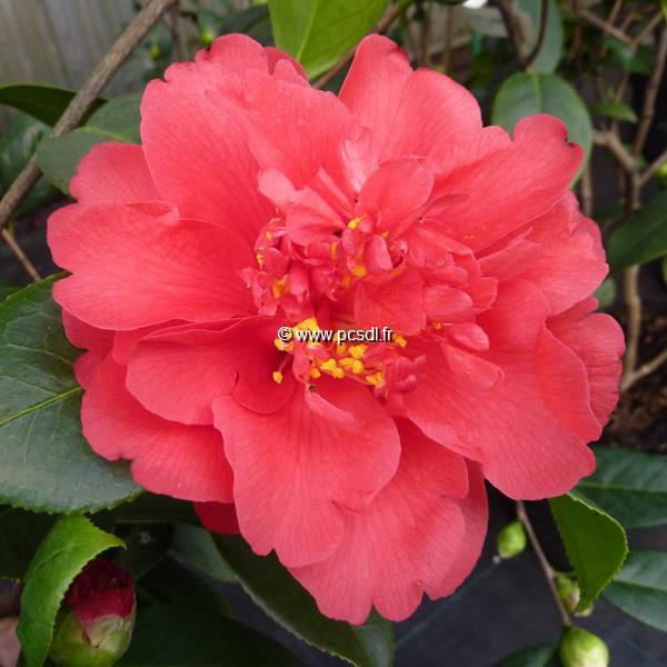 Camellia japonica \'Volcano\' C4L 40/60