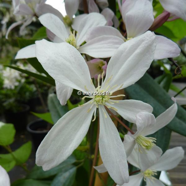 Clematis armandii \'Apple Blossom\' 60/80 C4L