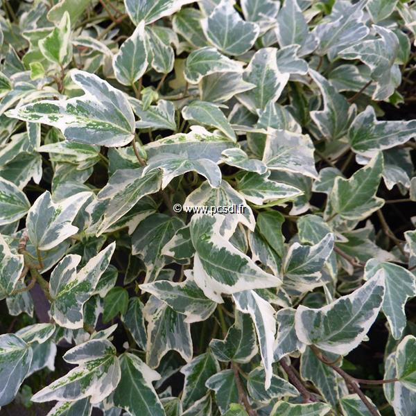 Hedera helix \'Sagittifolia Variegata\' C4L 40/60
