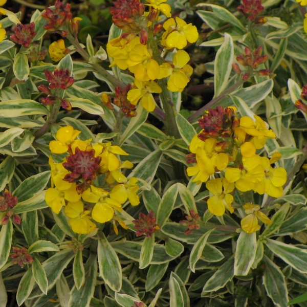 Erysimum \'Fragrant Star\' ® 20/30 C3L