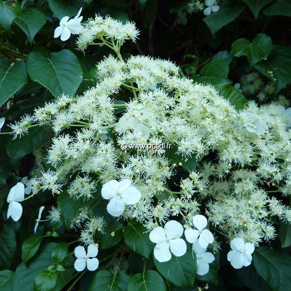 Hydrangea anomala ssp. petiolaris C3L 40/60