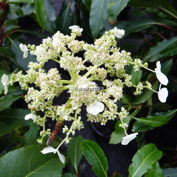 Hydrangea serratifolia C4L 40/60