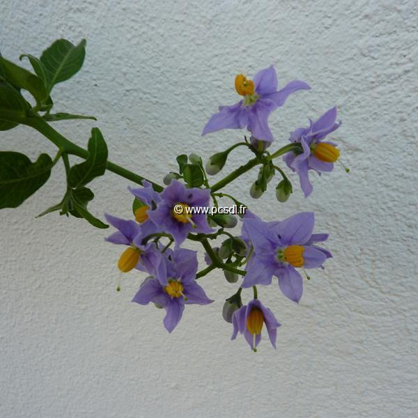 Solanum crispum \'Glasnevin\' C4L 40/60
