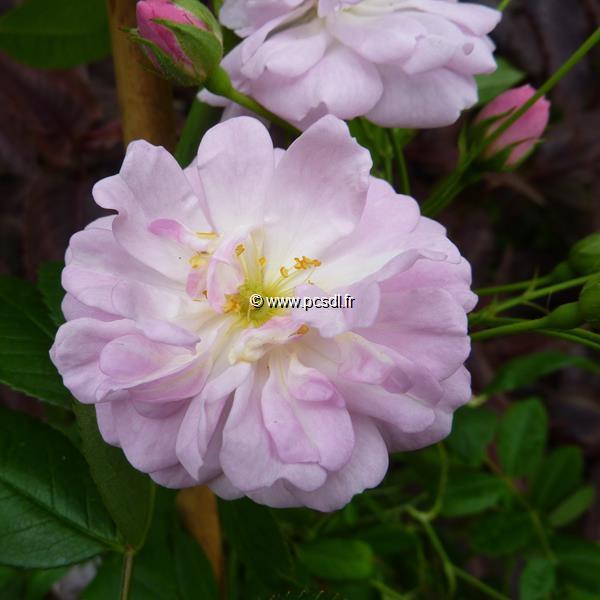 Rosa \'Parfum d\'Evita\' ® C4L 40/60