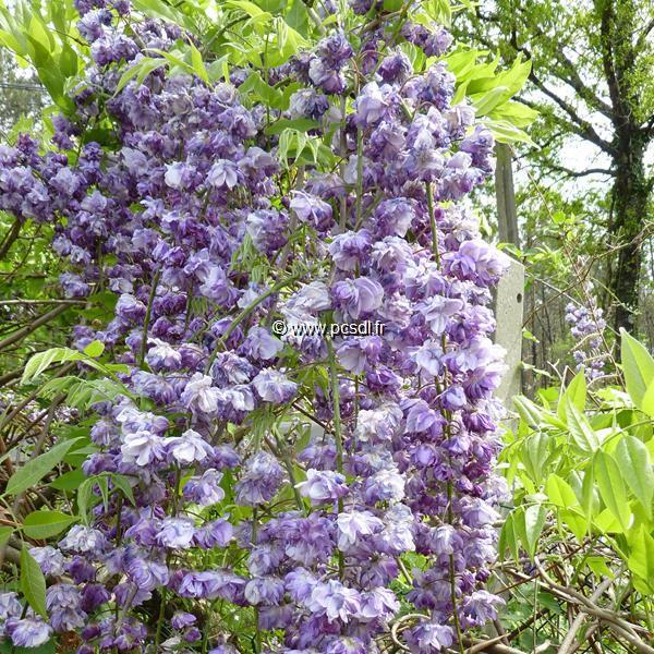 Wisteria floribunda \'Violacea Plena\' C4L 60/80
