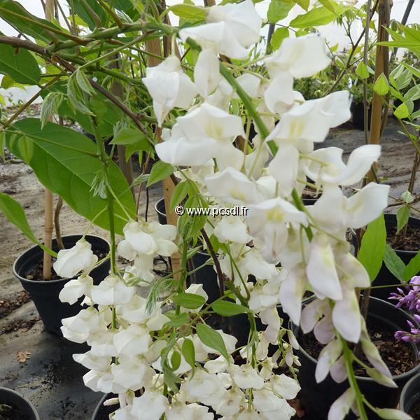 Wisteria sinensis \'Alba\' C4L 60/80