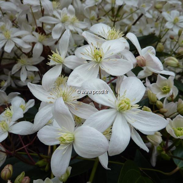 Clematis armandii (1)