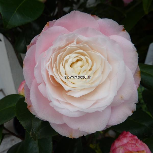 Camellia japonica \'Nuccio\'s Pearl\'