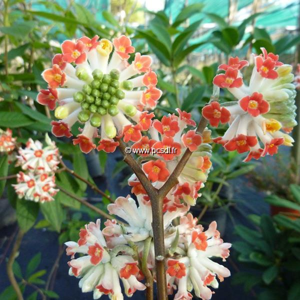 Edgeworthia chrysantha \'Red Dragon\' C4L 60/80