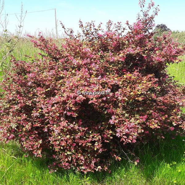 Loropetalum chinense f. rubrum \'Fire Dance\' 40/50 C4L