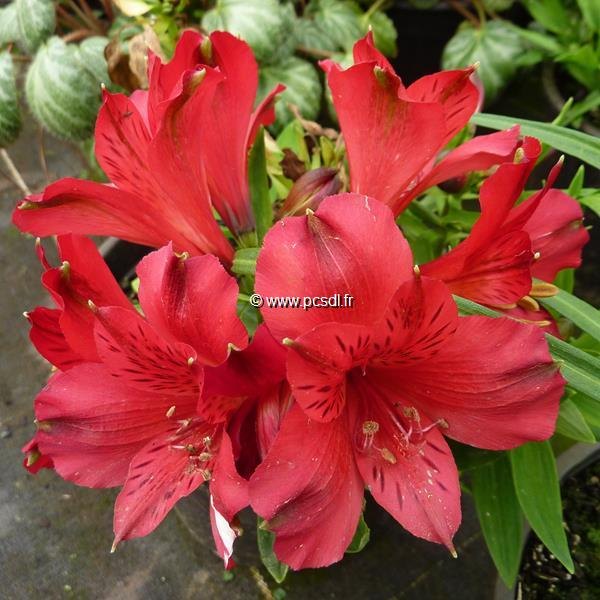 Alstroemeria rouge foncé C3L