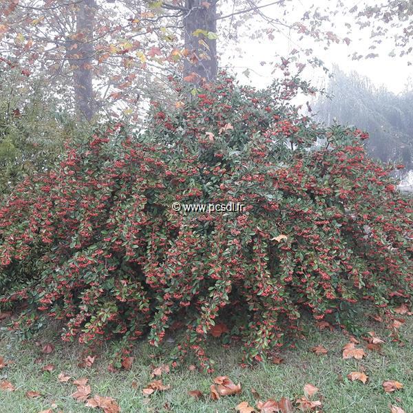 Cotoneaster lacteus C10L 80/100