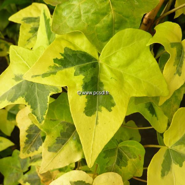 Hedera helix \'Yellow Ripple\' 40/60 C3L