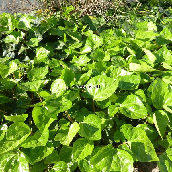Hedera algeriensis C4L 40/60