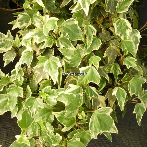 Hedera helix \'Sagittifolia Variegata\' 40/60 C4L