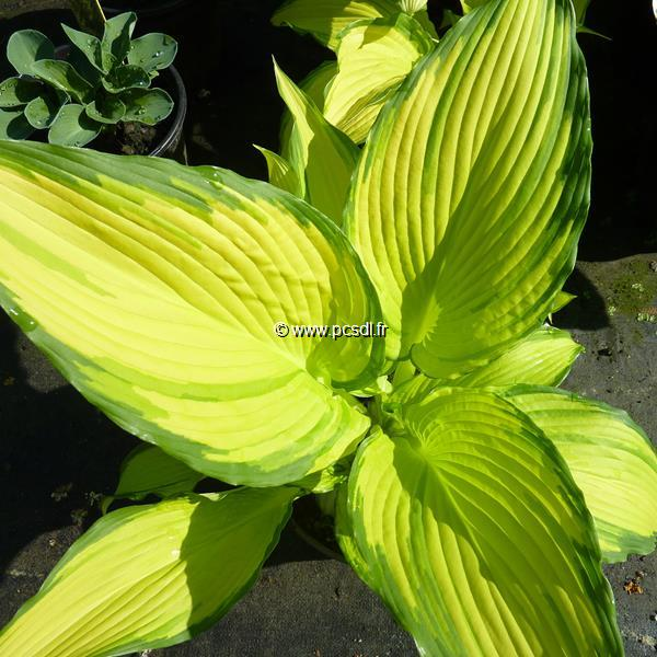 Hosta \'On Stage\' C3L