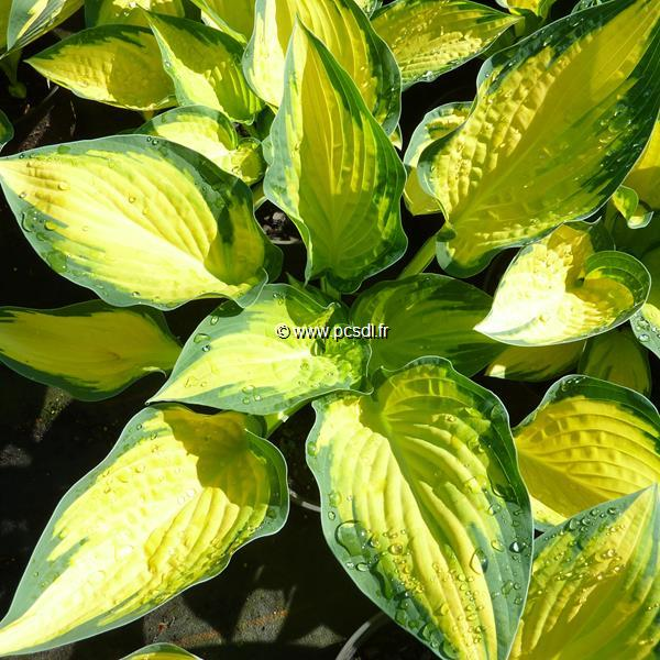 Hosta \'Orange Marmelade\' C3L