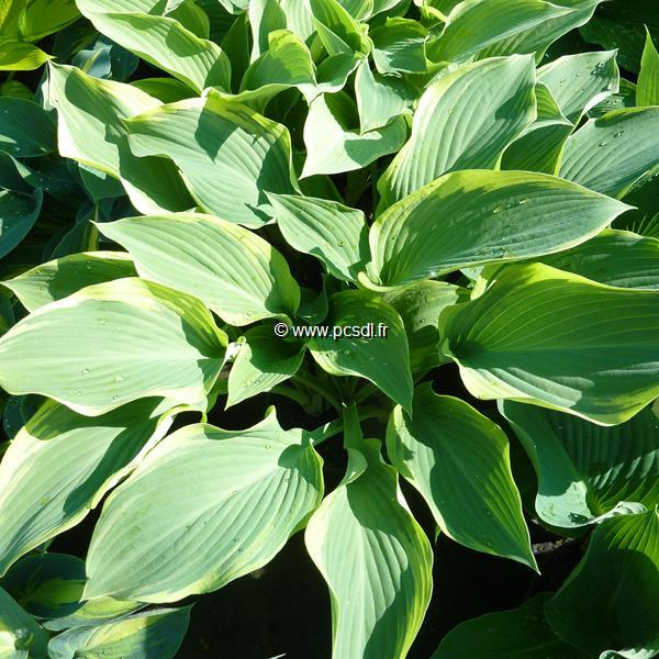 Hosta \'Regal Splendor\' C3L