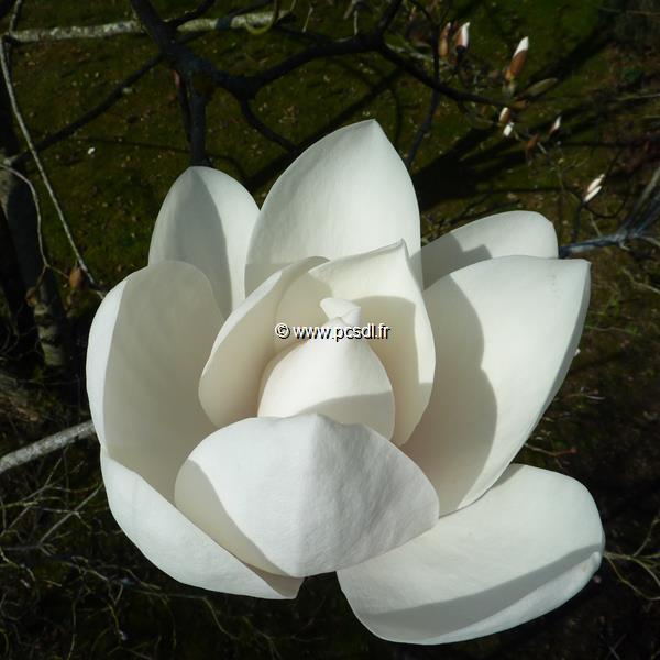 Magnolia \'David Clulow\' 175/200 C10L