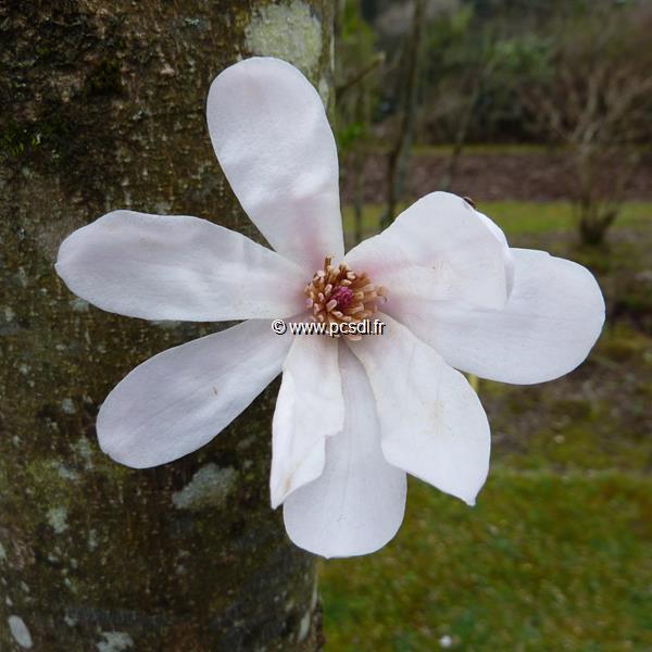 Magnolia x loebneri \'Merril\' 175/200 C15L