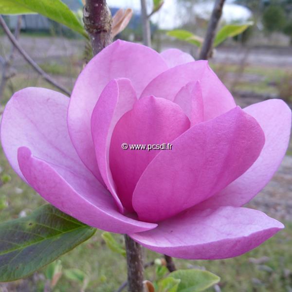Magnolia \'Sweet Valentine\' C45L 200/250