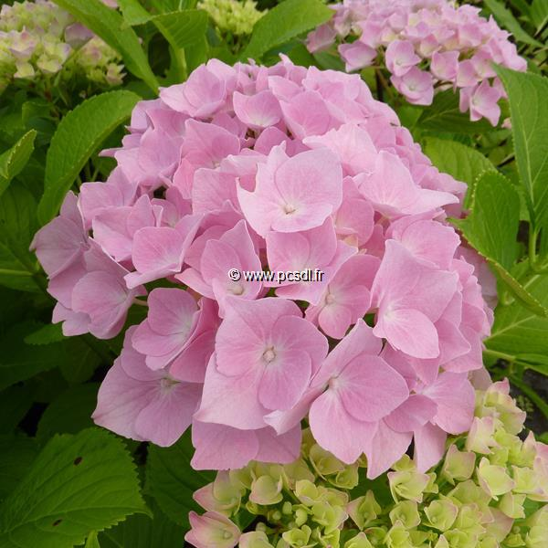 Hydrangea macrophylla \'Belle Séduction\' ® C4L 20/40