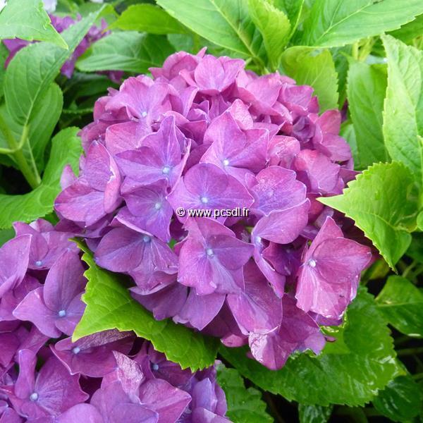 Hydrangea macrophylla (Hovaria) \'Hobergine\' ® C4L 20/40