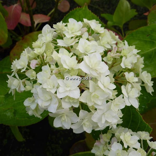 Hydrangea macrophylla \'Peace\' ® 20/40 C4L