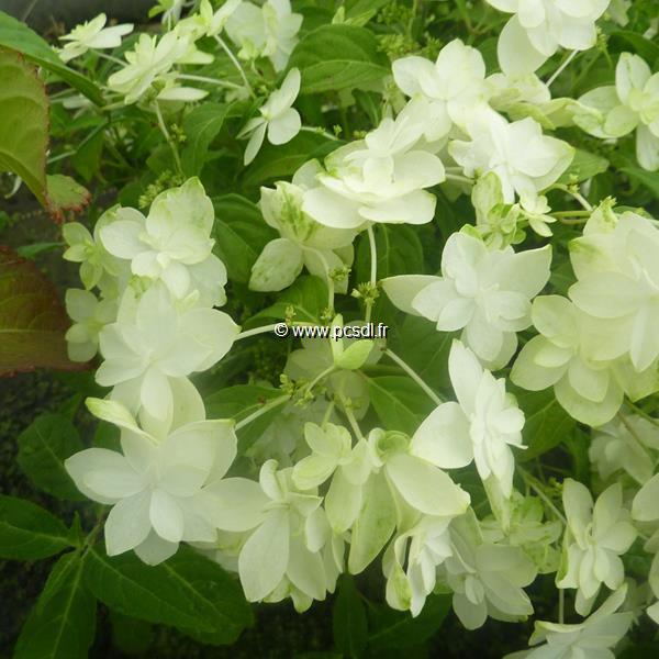 Hydrangea serrata \'Shirofuji\' C4L 20/40