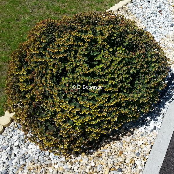 Euphorbia amygdaloides \'Blackbird\' ® 20/30 C3L
