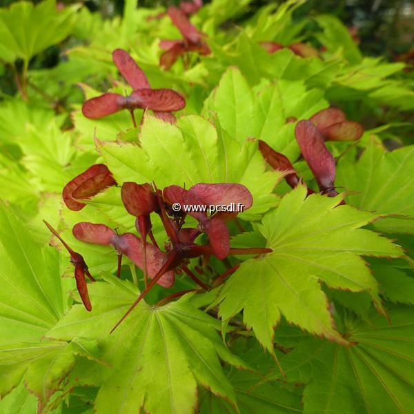 Acer shirasawanum \'Aureum\' C10L 125/150 3 troncs