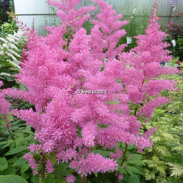 Astilbe Rythm & Blues