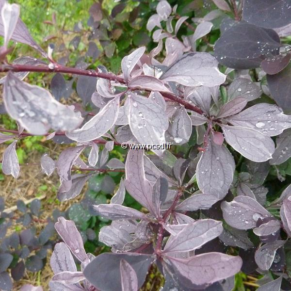 Berberis x ottawensis \'Silver Miles\' C4L 40/60