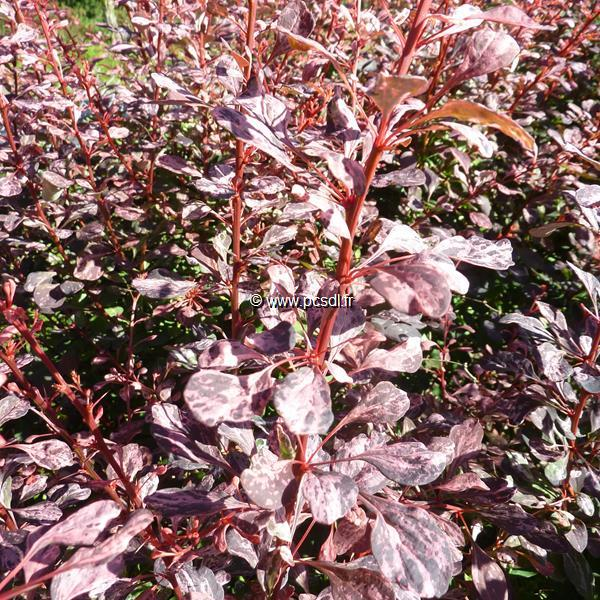 Berberis thunbergii \'Rose Glow\' C4L 40/50
