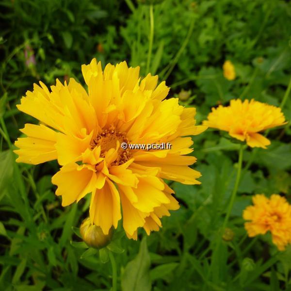 Coreopsis grandiflora \'Sunray\' C3L