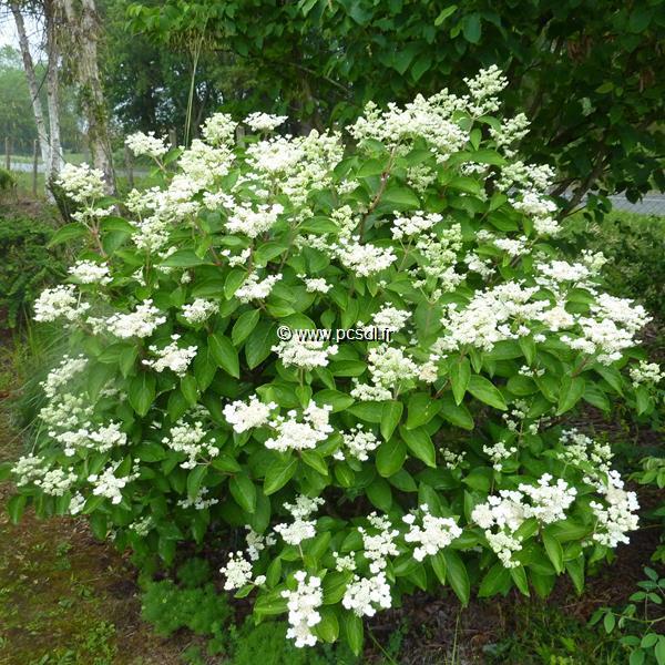 Hydrangea paniculata \'Daruma\' 60/80 C15L