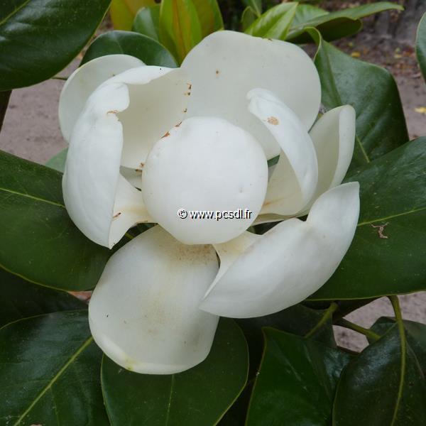 Magnolia grandiflora \'François Treyve\'