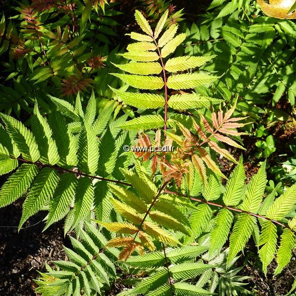 Sorbaria sorbifolia \'Sem\' ® C4L 30/40