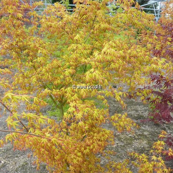 Acer palmatum \'Ueno-yama\' C30L 100/125