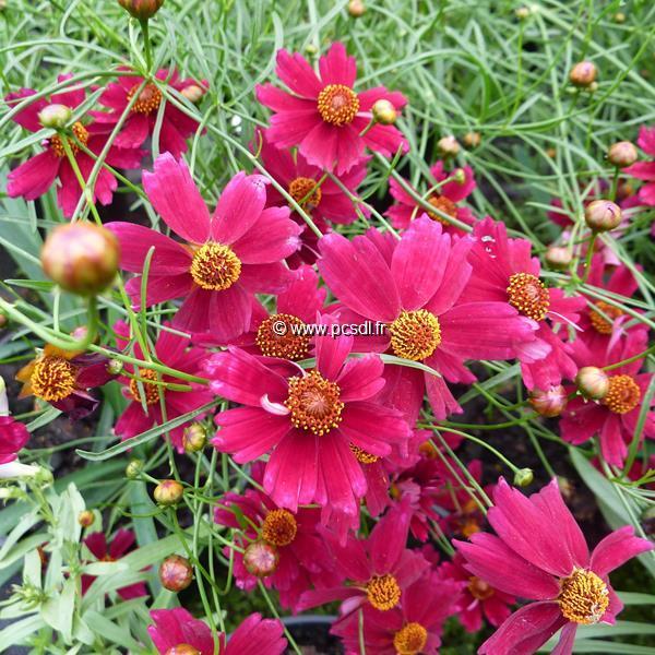 Coreopsis \'Limerock Ruby\' ® C3L