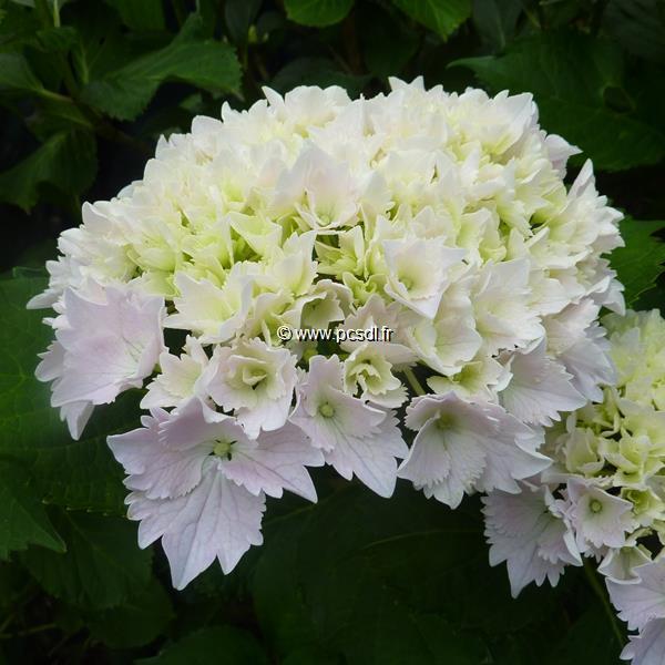 Hydrangea macrophylla \'Albrechtsburg\' C4L 20/40