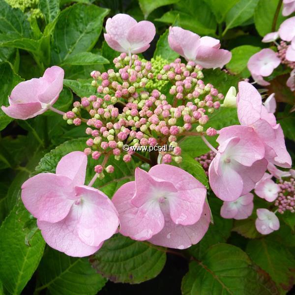 Hydrangea macrophylla \'Dolce Gipsy\' ® 20/40 C4L
