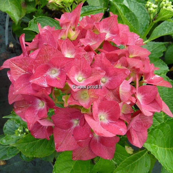 Hydrangea macrophylla \'Green Shadow\' ® C4L 20/40